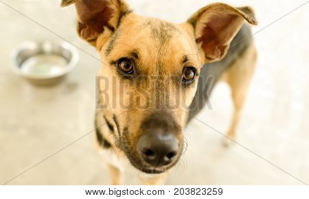 Dog bowl is a hungry German Shepherd waiting for someone to food in his bowl.
