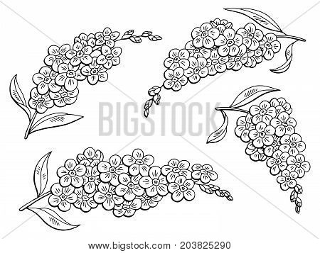 Forget me not flower graphic black white isolated sketch illustration vector