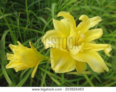 Yellow Lily and a Bud on a background of foliage in the flowerbed.
