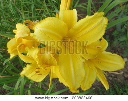 Yellow lilies and buds on background of foliage in the flowerbed.