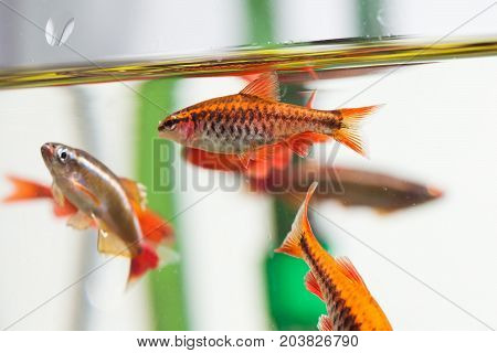 Group beautiful aquarium fishes red orange color. Cherry barb fishes macro nature concept. shallow depth of field, selective focus photo.