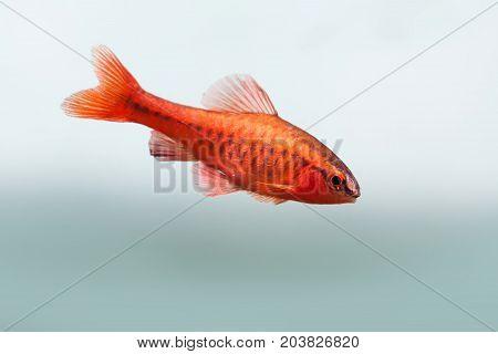 Underwater aquarium still life scene. Red color tropical fish Barb Puntius titteya swim on soft blue background. Shallow depth of field