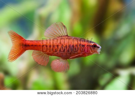 Beautiful red fish on soft green background. Male barb swimming tropical freshwater aquarium tank. Puntius titteya belonging to the family Cyprinidae. Macro view, shallow depth of field photo