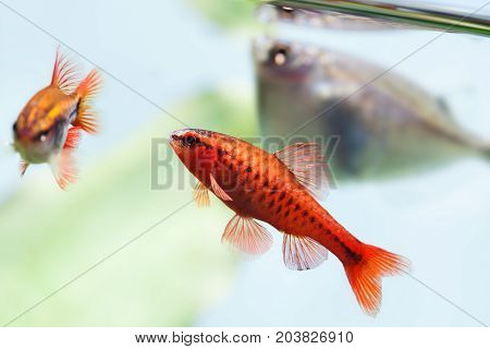 beautiful aquarium fishes red orange color. Cherry barb fishes macro nature concept. shallow depth of field, selective focus photo.