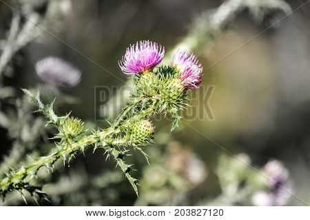 Medicinal herbs: Brightly violet flowers of spiny plumeless thistle (Carduus acanthoides)