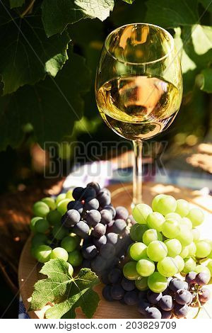 White wine in a wineglass and bunch of fresh grapes on the background of a rustic vineyard