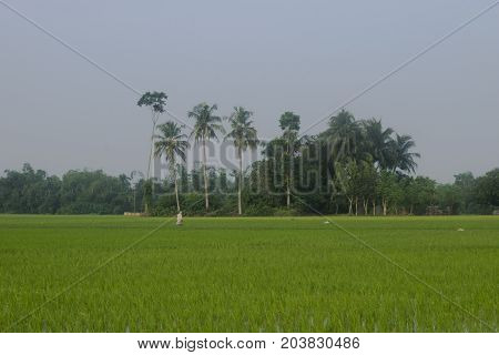 country side green paddy field blue sky trees behind village agreeculture farming