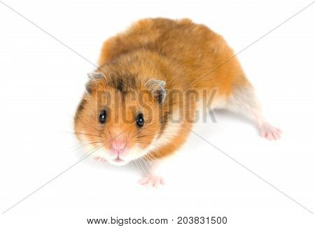 Cute Syrian hamster with a funny expression (on a white background) selective focus on the hamster eyes