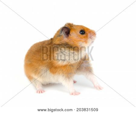 Cute Syrian hamster looking sideward with attention (isolated on white)