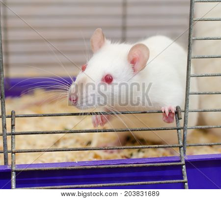 White laboratory rat looking out of a cage (selective focus on the rat eyes)