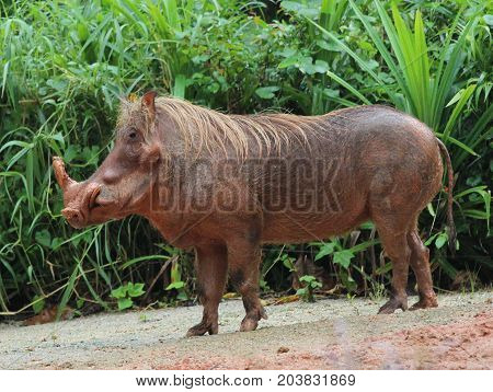 close up image of a boar with a nature background