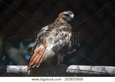 Brilliant Red Tail Hawk Relaxing in the Wild