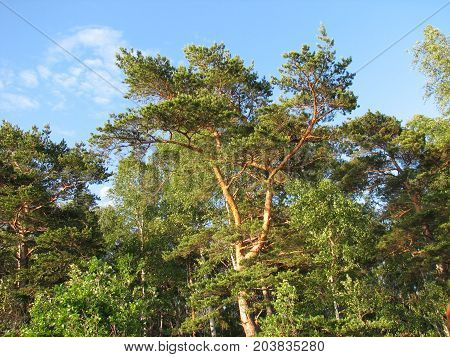 Close Up Image Of A Pine Tree On The Sky Background