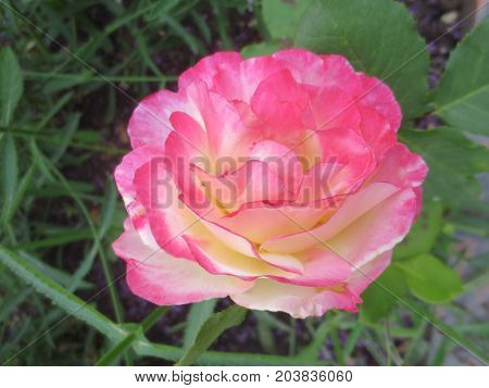 Delicate pink and white rose on a background of leaves in the flowerbed.