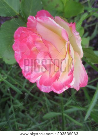 Delicate pink and white rose on a background of green leaves in the flowerbed.