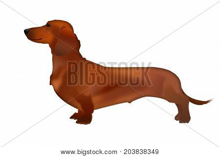 Insulated dog Dachshund in profile. Dog Dachshund stands on a white background