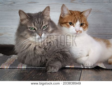 Close up of two cats. Sweet to cats