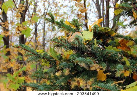 Close Up Imaging Of The Spruce Branch With Fallen Yellow Leaves Against The Background Of Autumn Tre