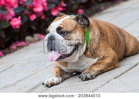 English Bulldog or British Bulldog in the park near the flowers