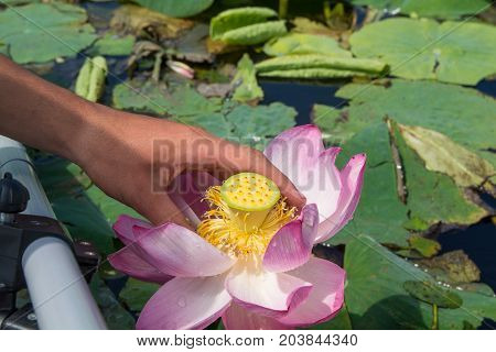 Man's hand holds the lotus flower. Lotus in nature.