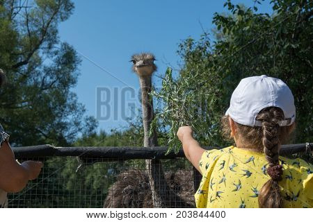 Little girl feeds ostrich. Child reaching out to ostrich.