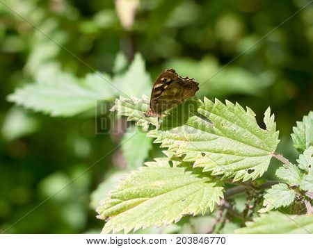 Speckled Wood Butterfly Perched On Leaf Closed Wings Summer - Pararge Aegeria