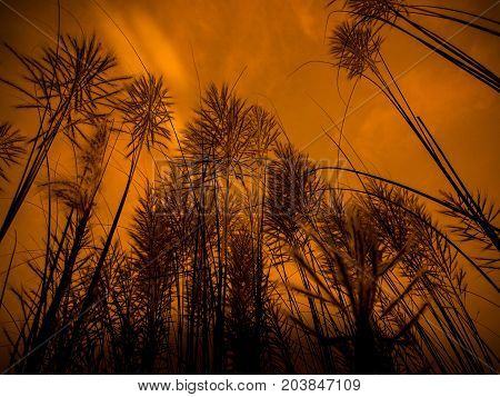 indian kash flower with beautifull burning sky