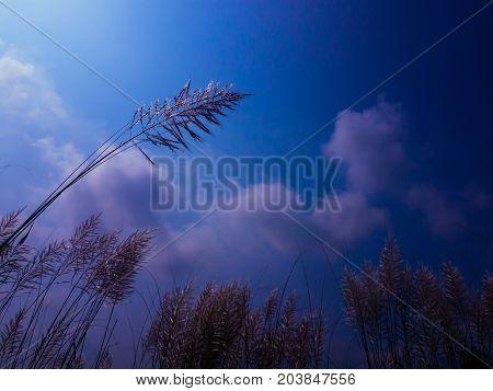 indian kash flower with deep blue sky