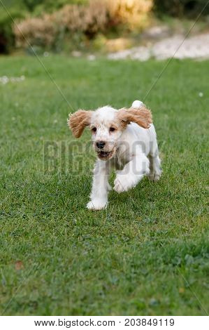 Purebred English Cocker Spaniel Puppy