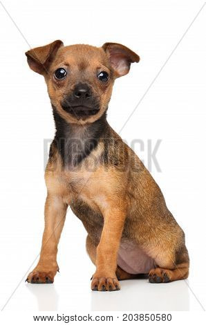 Toy Terrier Puppy On White Background