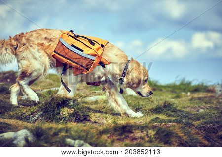 A dog lifeguard with a backpack in a hike in the summer.
