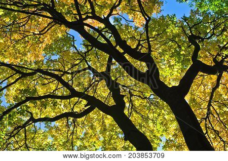 Yellow and orange leaves on a blue sky background at autumn in Belgrade, Serbia