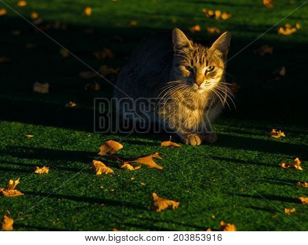 Yellow cat on a green carpet with a lot of fallen yellow leaves at autumn morning light