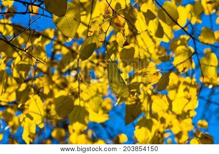 Yellow leaves on a blue sky background at autumn in Belgrade, Serbia