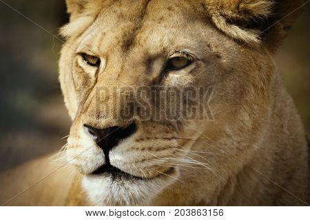 Face african wild lion. Portait female lion lionesse.
