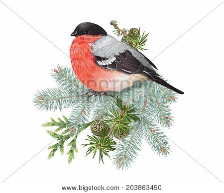 Vector realistic composition with bullfinch bird on conifer branches isolated on white. Winter design element for christmas, new year, greeting card. Can be used for poster, web page, packaging