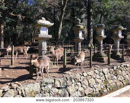 deer and stone Lanterns in Kasuga Taisha shinto shrine in Nara Japan