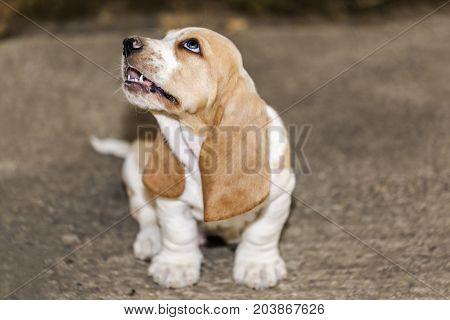 Little Sweet Puppy Basset Hound