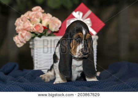 Little Sweet Puppy Basset Hound, A Nice Gift