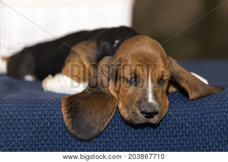 Little Sweet Puppy Of Basset Hound  Lies On The Blanket And Looks Down