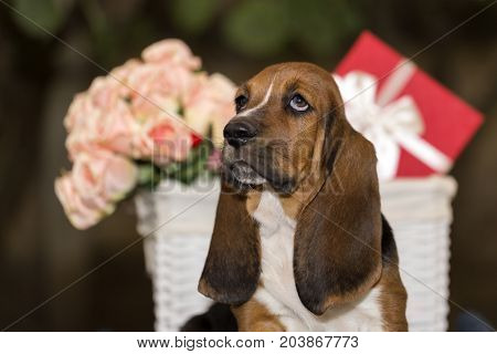 Sweet Little Gentle Puppy Basset Hound With  Very Long Ears Sitting On A Blanket