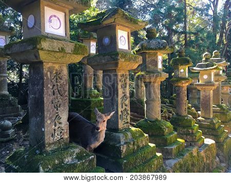 Spotted Deer between stone lanterns in Kasuga Taisha shinto shrine in Nara Japan