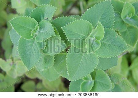 Plectranthus Amboinicus Or Coleus Amboinicus Leaves Herbal