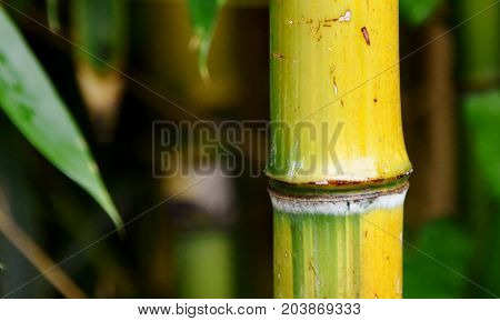Close up of a yellow bamboo stick
