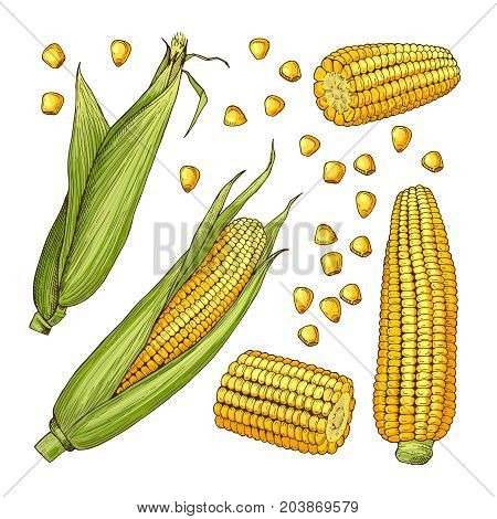 Vector farm illustrations. Different sides of corn cob and organic vegetable, farm natural ripe corn