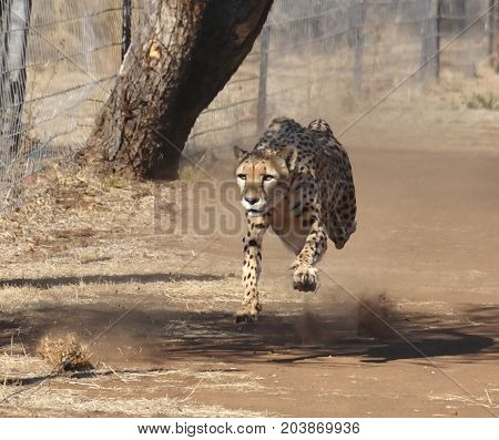 Exercising a cheetah by chasing a lure, at full speed.