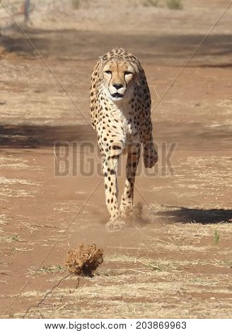 Exercising a cheetah by chasing a lure, slowing down.