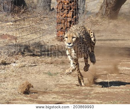Exercising a cheetah by chasing a lure, gaining speed.