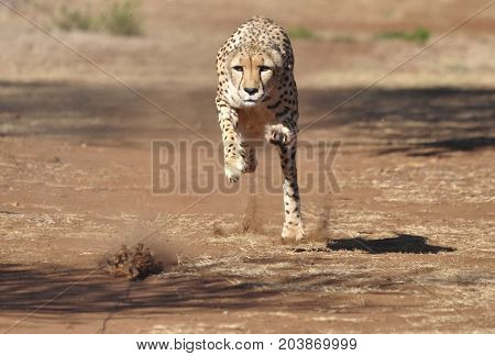 Exercising a cheetah by chasing a lure, almost there.