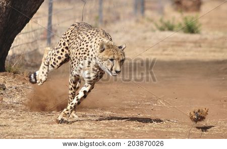 Exercising a cheetah by chasing a lure, changing direction.